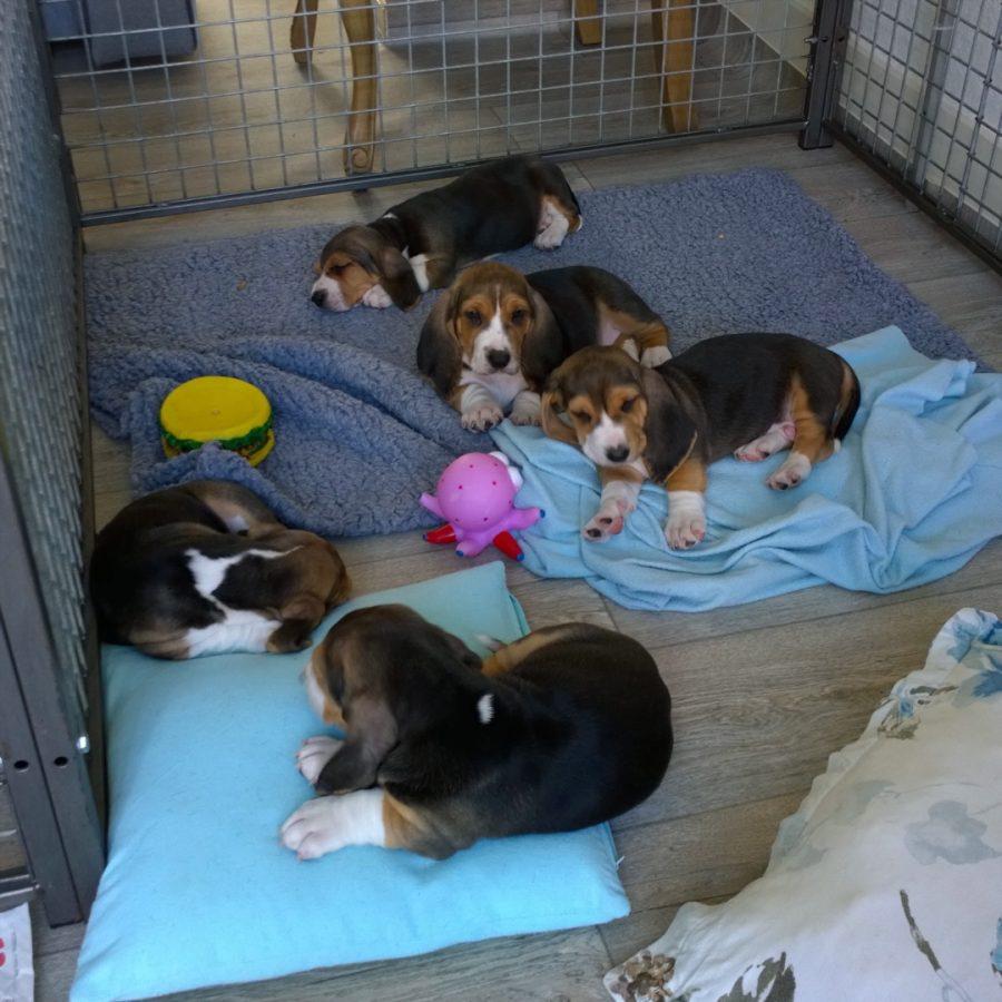 Basset Artesien normand puppy's basset hound