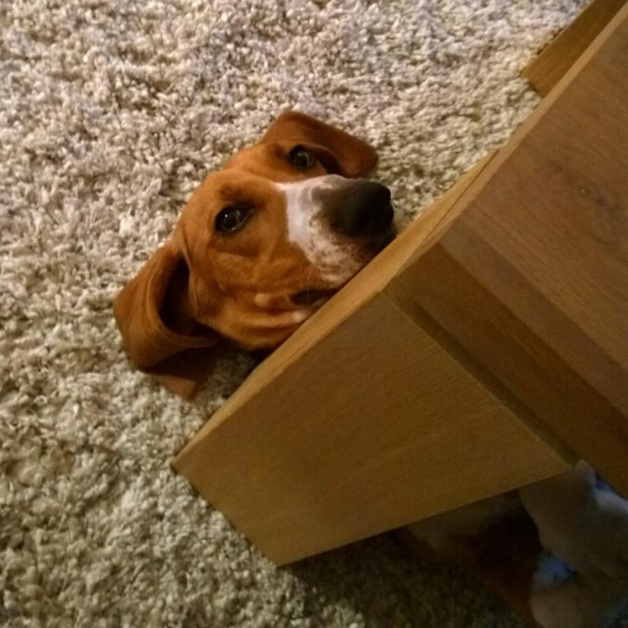 Franse basset Louie onder tafel liggen