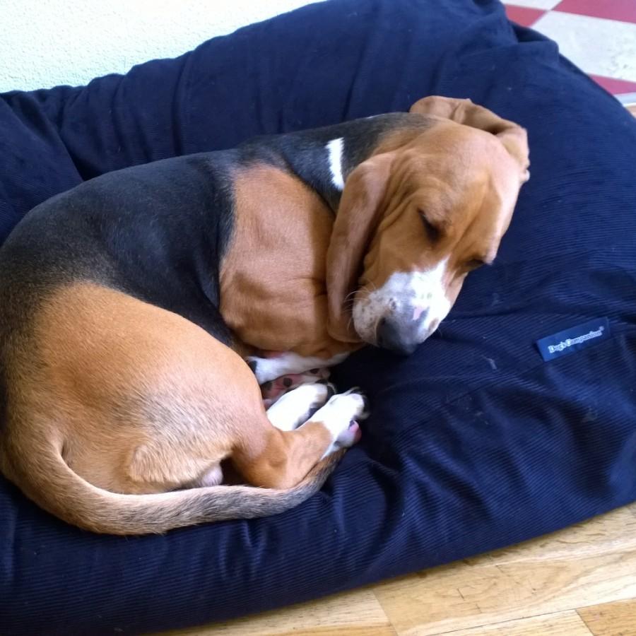 Hondenbed opgekruld erop liggen