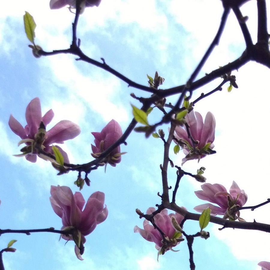 Magnolia voortuin in bloei mindjoy