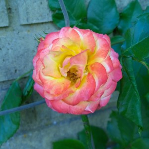 Mooie roos tuin mindjoy
